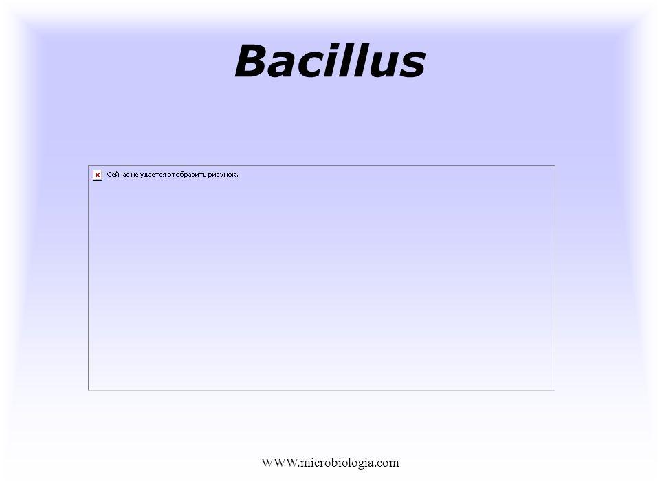 Bacillus WWW.microbiologia.com