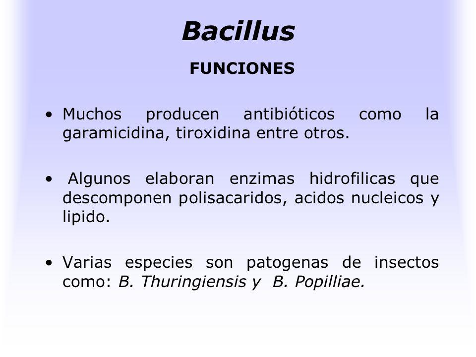 Bacillus FUNCIONES. Muchos producen antibióticos como la garamicidina, tiroxidina entre otros.
