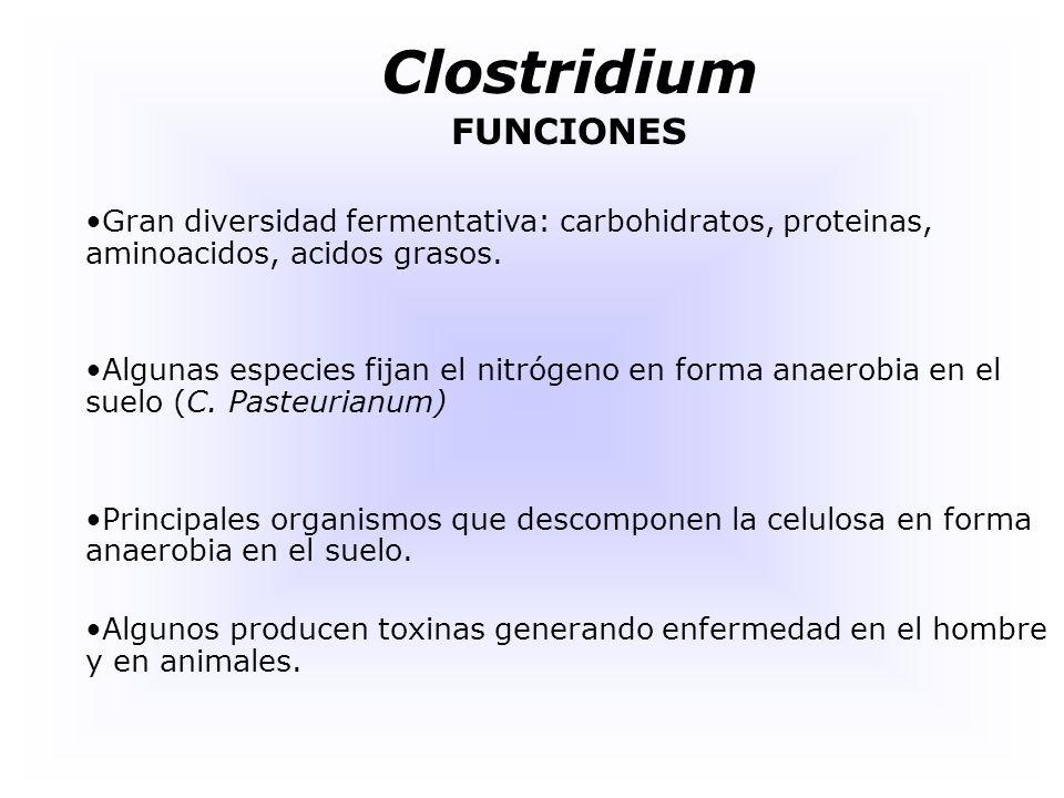 Clostridium FUNCIONES