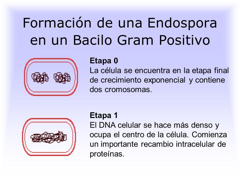 Formación de una Endospora en un Bacilo Gram Positivo