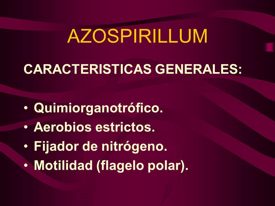 AZOSPIRILLUM CARACTERISTICAS GENERALES: Quimiorganotrófico.