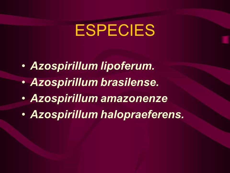 ESPECIES Azospirillum lipoferum. Azospirillum brasilense.