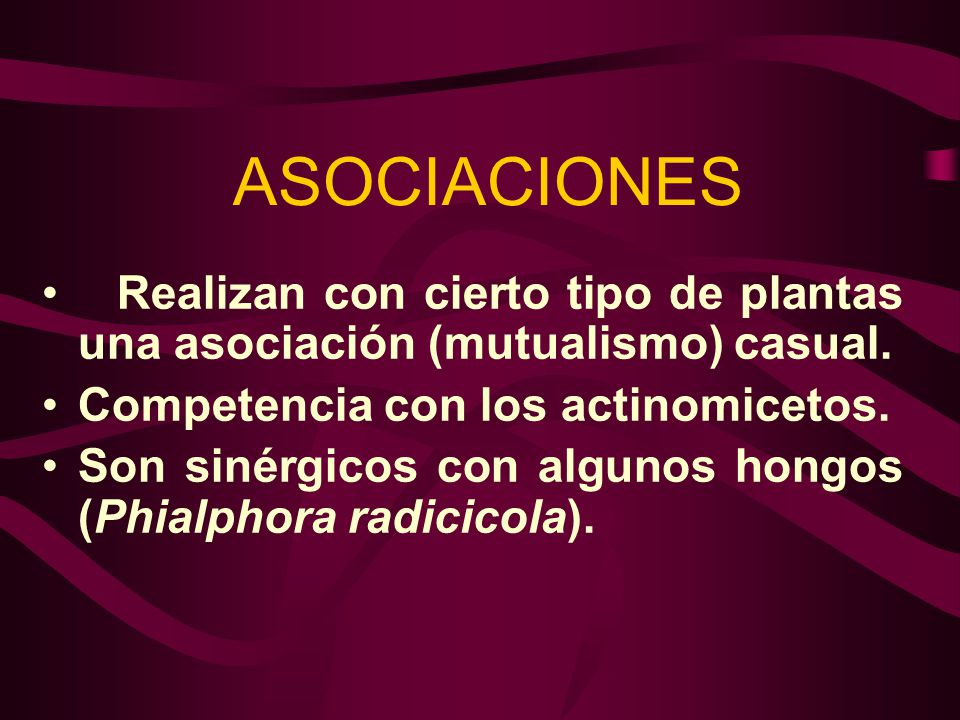 ASOCIACIONES Realizan con cierto tipo de plantas una asociación (mutualismo) casual. Competencia con los actinomicetos.