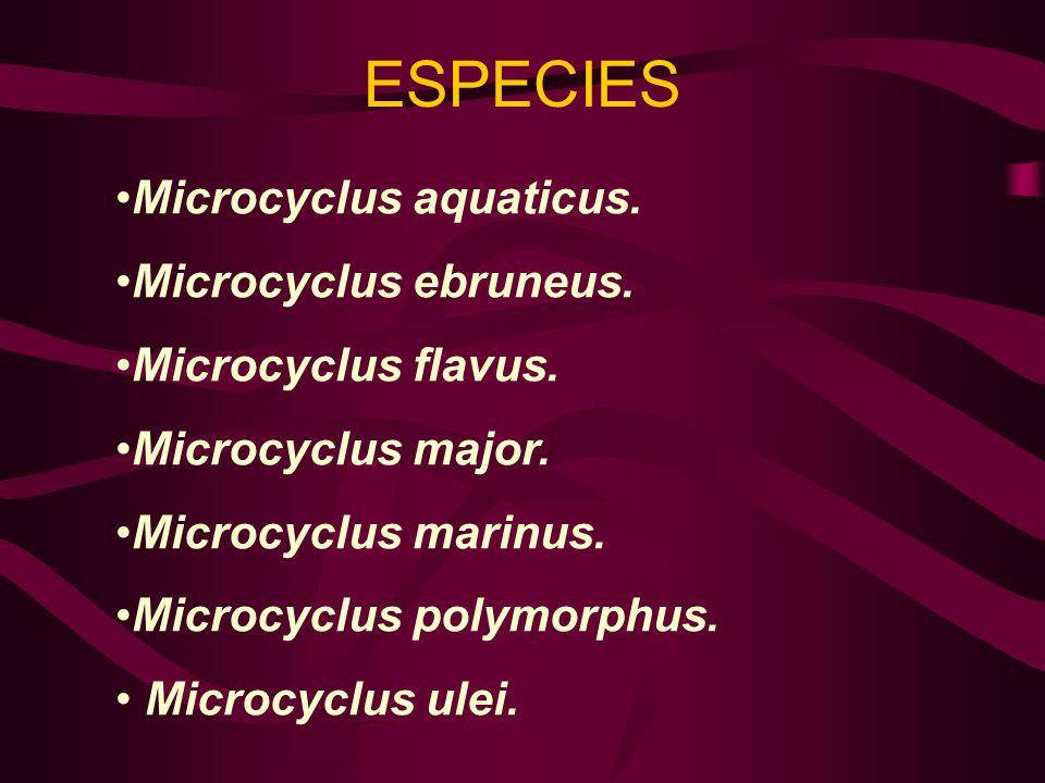 ESPECIES Microcyclus aquaticus. Microcyclus ebruneus.