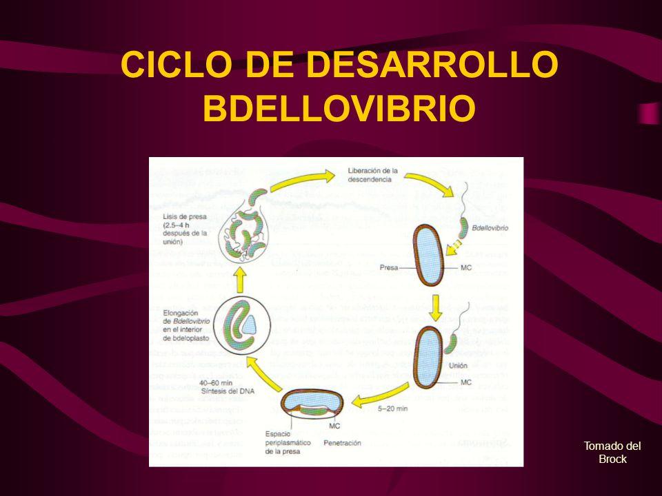 CICLO DE DESARROLLO BDELLOVIBRIO