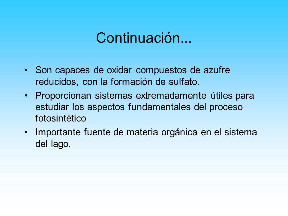 Continuación... Son capaces de oxidar compuestos de azufre reducidos, con la formación de sulfato.