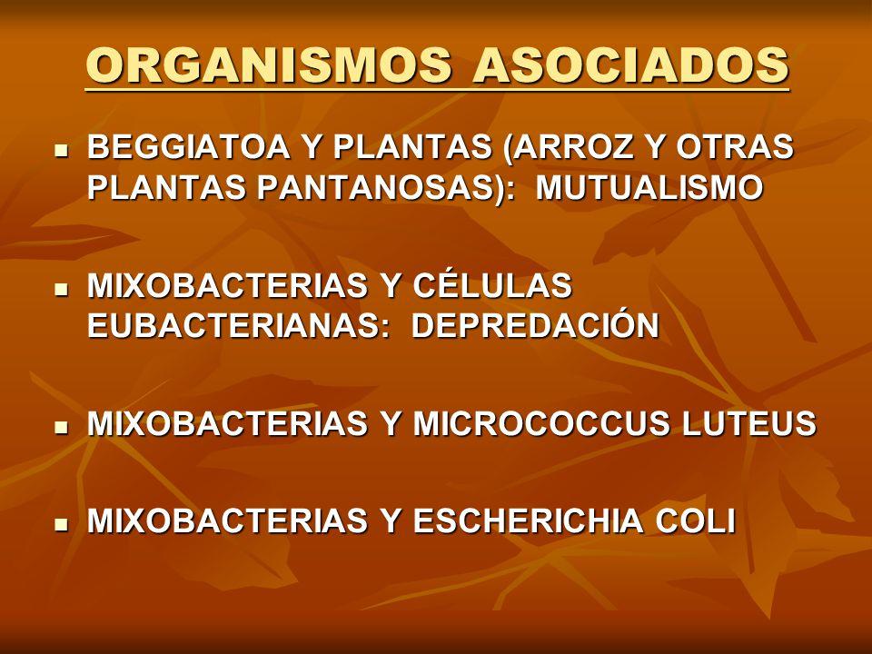 ORGANISMOS ASOCIADOS BEGGIATOA Y PLANTAS (ARROZ Y OTRAS PLANTAS PANTANOSAS): MUTUALISMO. MIXOBACTERIAS Y CÉLULAS EUBACTERIANAS: DEPREDACIÓN.