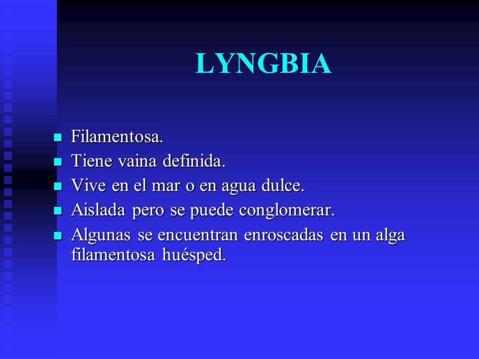 LYNGBIA Filamentosa. Tiene vaina definida.