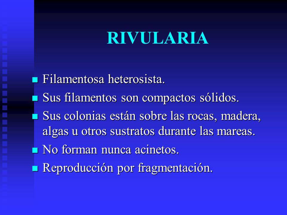 RIVULARIA Filamentosa heterosista.