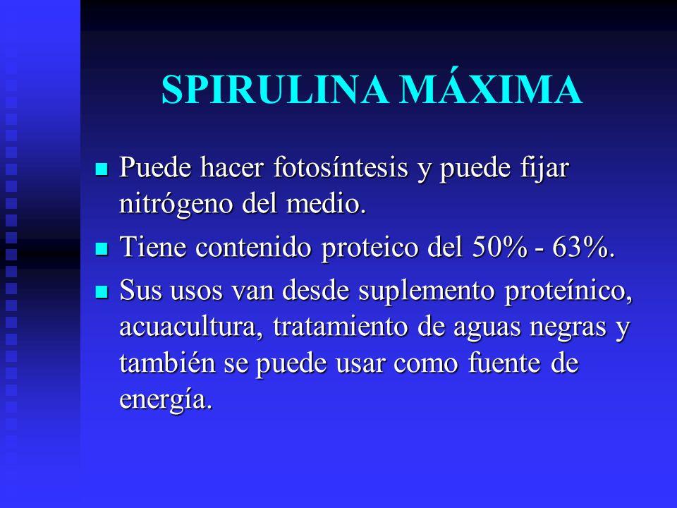 SPIRULINA MÁXIMA Puede hacer fotosíntesis y puede fijar nitrógeno del medio. Tiene contenido proteico del 50% - 63%.