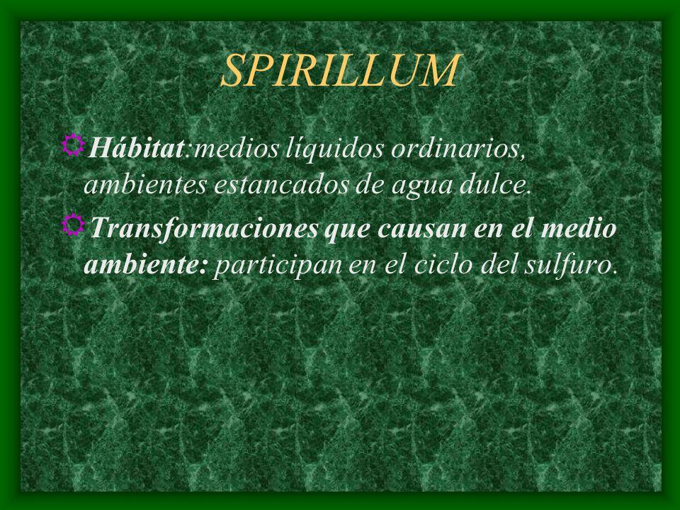 SPIRILLUM Hábitat:medios líquidos ordinarios, ambientes estancados de agua dulce.