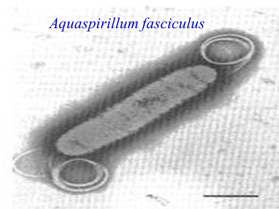 Aquaspirillum fasciculus
