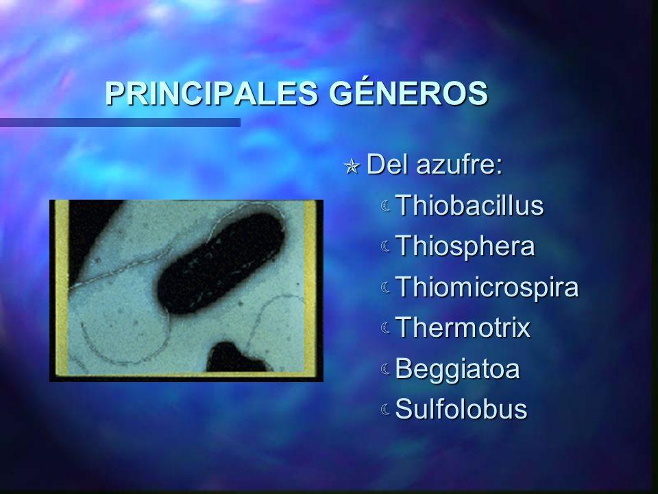 PRINCIPALES GÉNEROS Del azufre: Thiobacillus Thiosphera Thiomicrospira