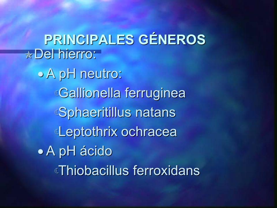 PRINCIPALES GÉNEROS Del hierro: A pH neutro: Gallionella ferruginea. Sphaeritillus natans. Leptothrix ochracea.