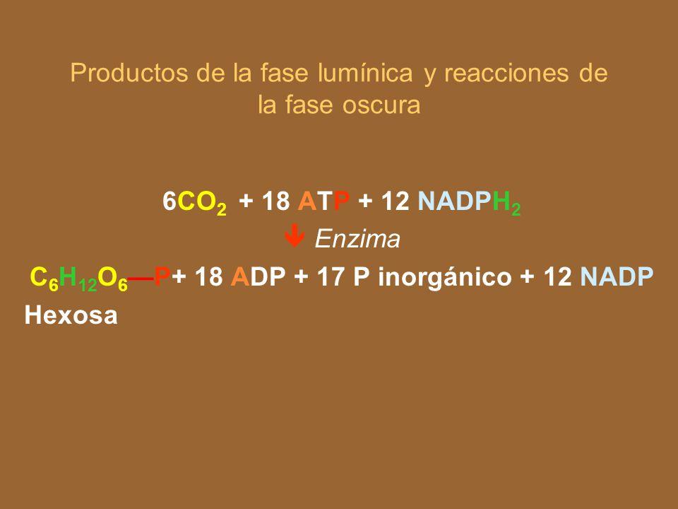 Productos de la fase lumínica y reacciones de la fase oscura