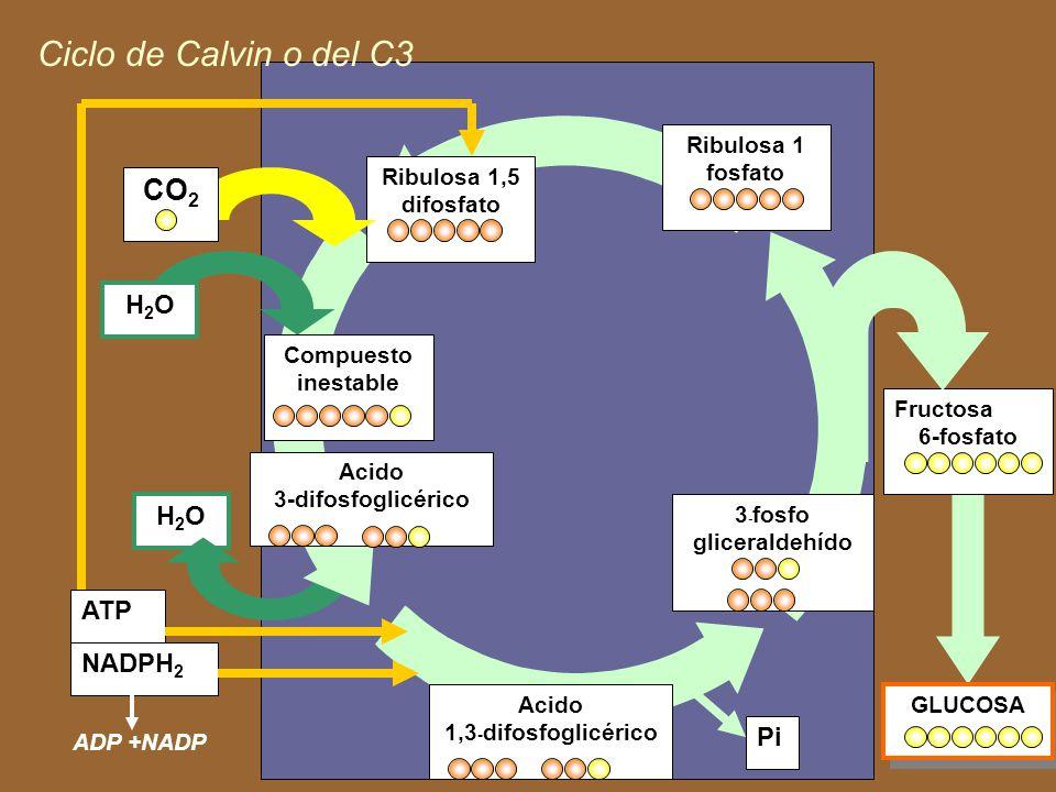 Ciclo de Calvin o del C3 CO2 H2O H2O ATP NADPH2 Pi Ribulosa 1 fosfato