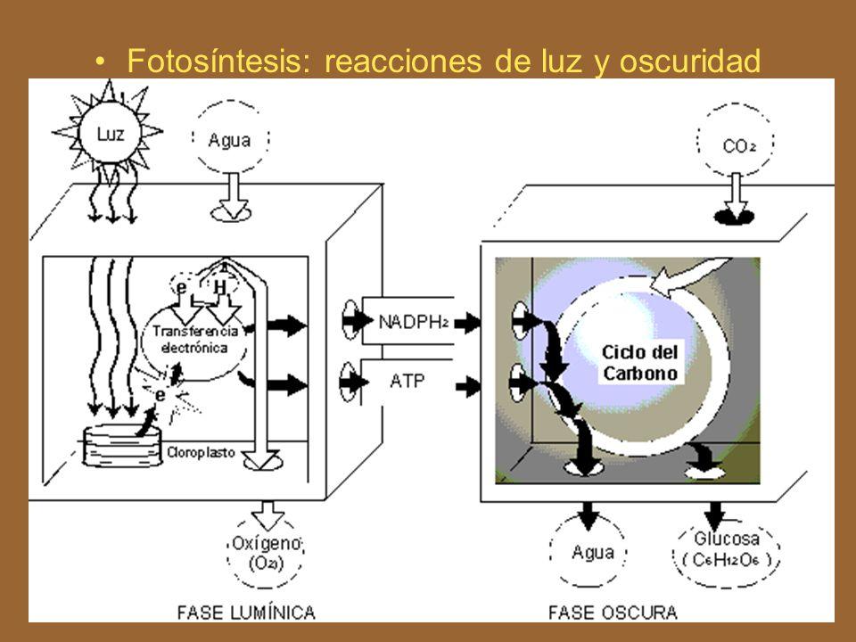 Fotosíntesis: reacciones de luz y oscuridad