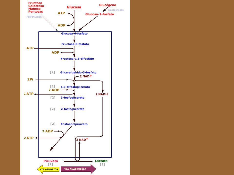 La glucólisis es una vía común para la producción de energía puesto que éste es un proceso activo, tanto cuando hay presencia de oxígeno ( Glucólisis aeróbica), como cuando no hay oxigeno disponible en la célula (glucólisis anaeróbica). Esta característica de la glucólisis es crucial porque es la que permite que las células sobrevivan y relizen trabajo, durante un determinado período de tiempo, en condiciones anaeróbicas o en situaciones anóxicas.