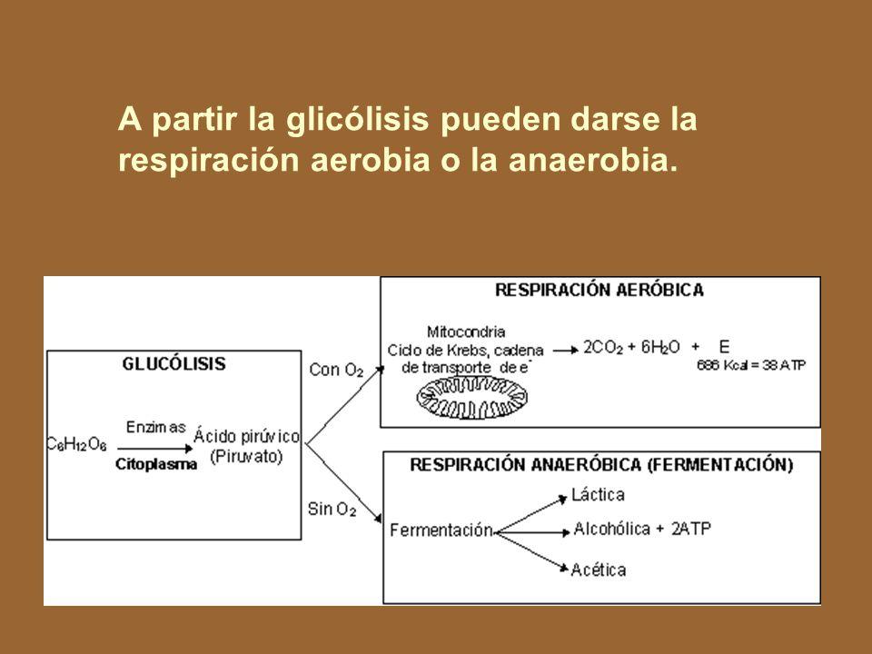 A partir la glicólisis pueden darse la respiración aerobia o la anaerobia.