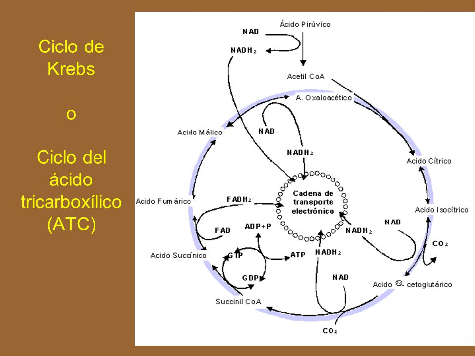 Ciclo de Krebs o Ciclo del ácido tricarboxílico (ATC)