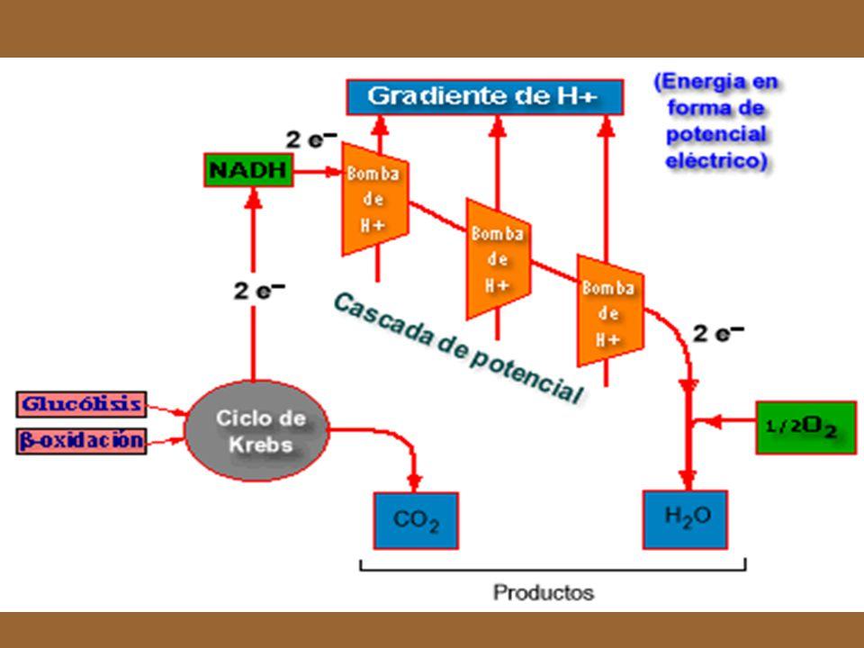 La siguiente curva representa La caida de potencial eléctrico desde el NAD hasta el oxígeno,receptor final de los electrones de la cadena respiratoria.