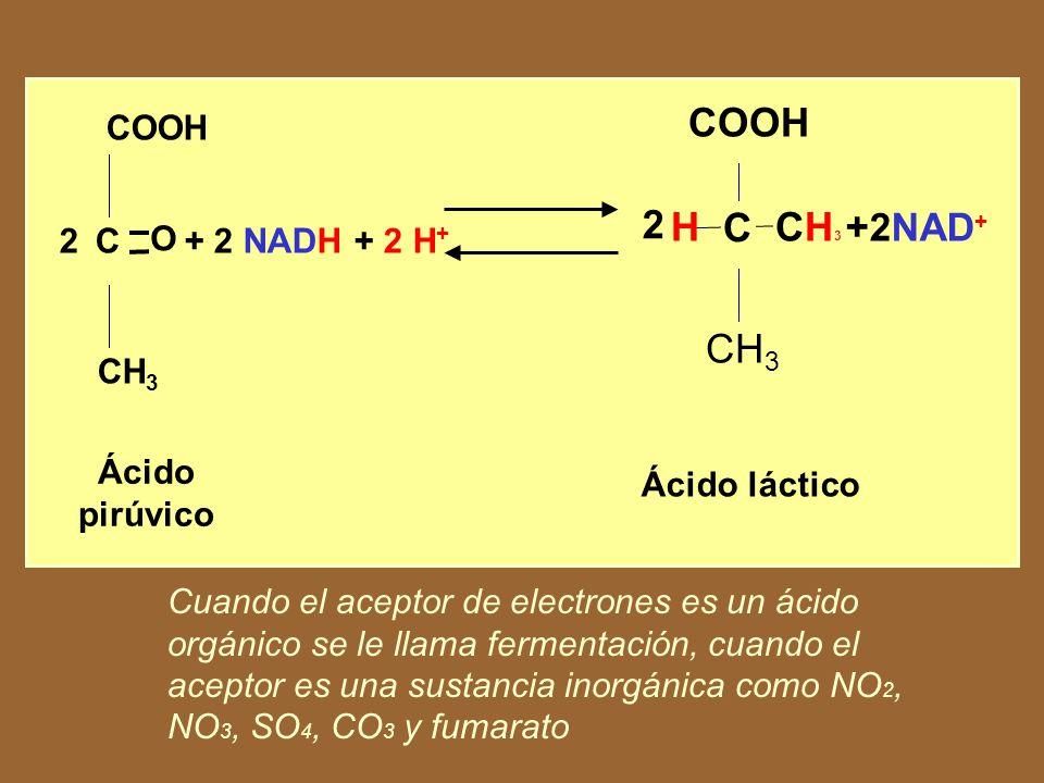 H +2NAD+ + 2 NADH + 2 H+ COOH Ácido pirúvico CH3 O C 2 Ácido láctico
