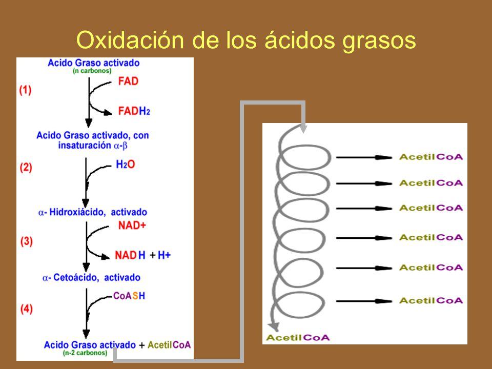 Oxidación de los ácidos grasos