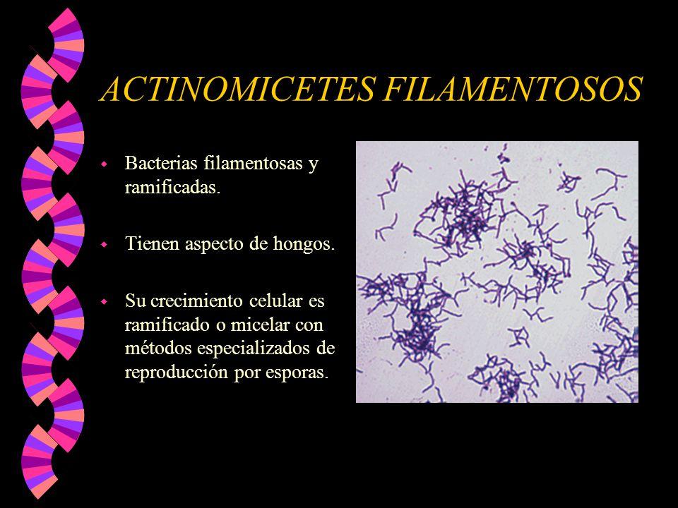 ACTINOMICETES FILAMENTOSOS