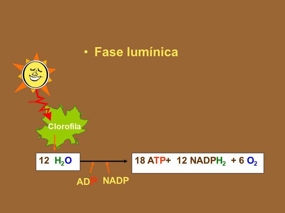 Fase lumínica 12 H2O 18 ATP+ 12 NADPH2 + 6 O2 ADP NADP Clorofila