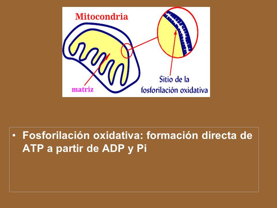 Fosforilación oxidativa: formación directa de ATP a partir de ADP y Pi