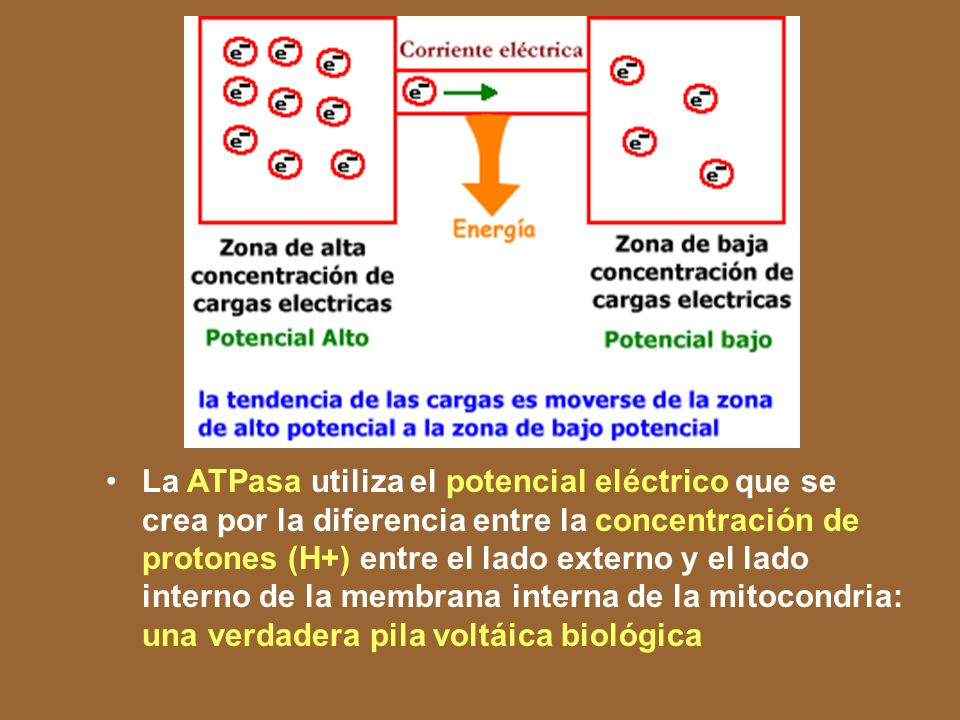 El flujo de electrones ocurre expontáneamente, puesto que la cadena de intermediarios que los transportan en la membrana, constituyen una cascada de potencial electrico. ¿Que quiere decir esto . Las leyes del cosmos, hasta ahora estudiadas (las clásicas), nos demuestran un principio universal: los sistemas tienden a adquirir los estados energéticos mas bajos posibles. Eso explica porqué un cuerpo cae en la tierra, porqué los gases tienden a escapar de los recipientes que los contienen y a ocupar todo el volume disponible; porqué el agua de los rios corre hacia el mar; porqué un cuerpo transmite calor a otro, y en nuestro estudio particular, porqué existen las corrientes eléctricas: Las corrientes eléctricas se desatan debido a que, si se establece un puente entre dos conjuntos de cargas eléctricas cuyos estados energéticos son diferentes, el sistema conformado con el puente tiende a adquirir su menor estado energético posible; ésto lo logra cuando la concentración de cargas electricas en todo el sistema es homogénea. Para lograr esa homogeneidad, el exceso de cargas en un sitio se desplaza hasta otros sitios donde haya menor cantidad de cargas. Dicho desplazamiento de cargas desde un sitio a otro es lo que conocemos como corriente eléctrica .