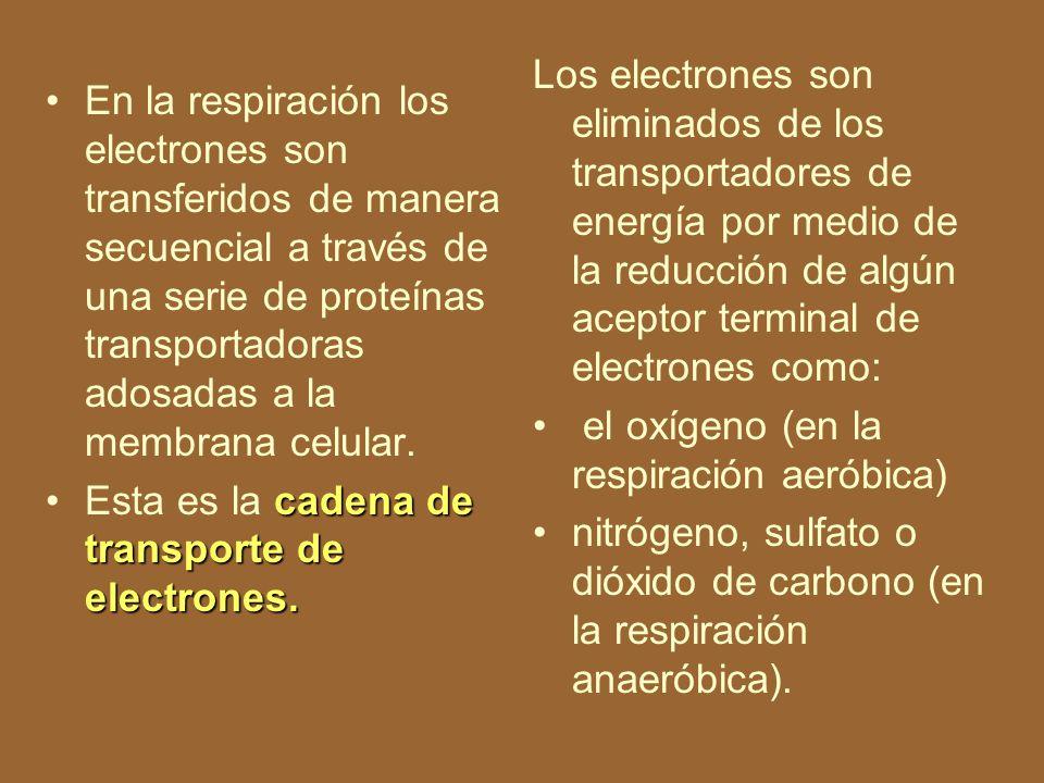 Los electrones son eliminados de los transportadores de energía por medio de la reducción de algún aceptor terminal de electrones como: