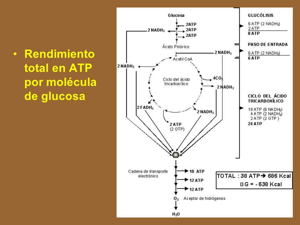 Rendimiento total en ATP por molécula de glucosa