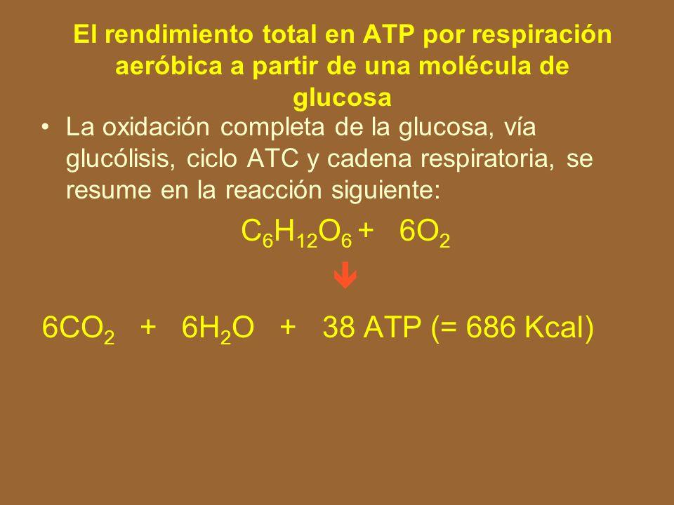 C6H12O6 + 6O2  6CO2 + 6H2O + 38 ATP (= 686 Kcal)