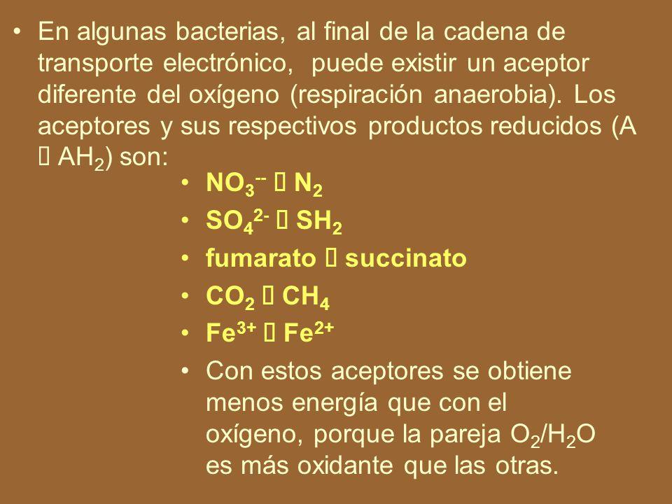 En algunas bacterias, al final de la cadena de transporte electrónico, puede existir un aceptor diferente del oxígeno (respiración anaerobia). Los aceptores y sus respectivos productos reducidos (A à AH2) son: