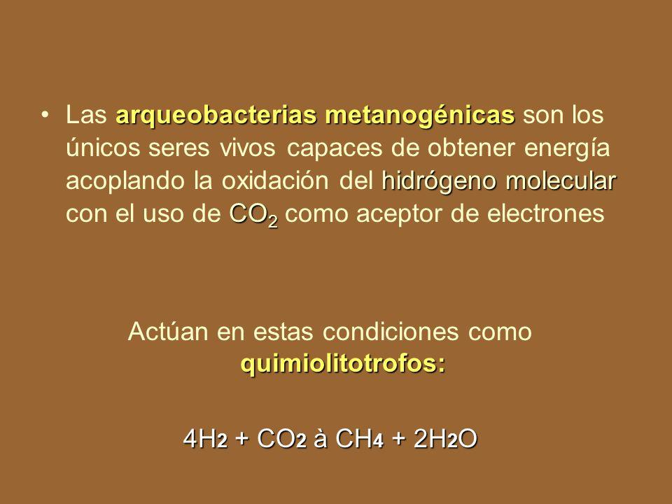 Actúan en estas condiciones como quimiolitotrofos: