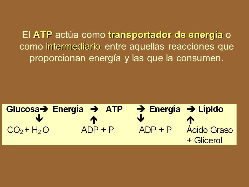 El ATP actúa como transportador de energía o como intermediario entre aquellas reacciones que proporcionan energía y las que la consumen.