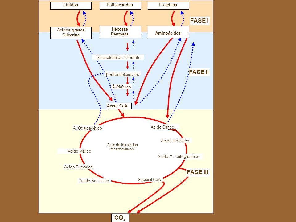 FASE I FASE II FASE III CO2 Lípidos Polisacáridos Proteínas