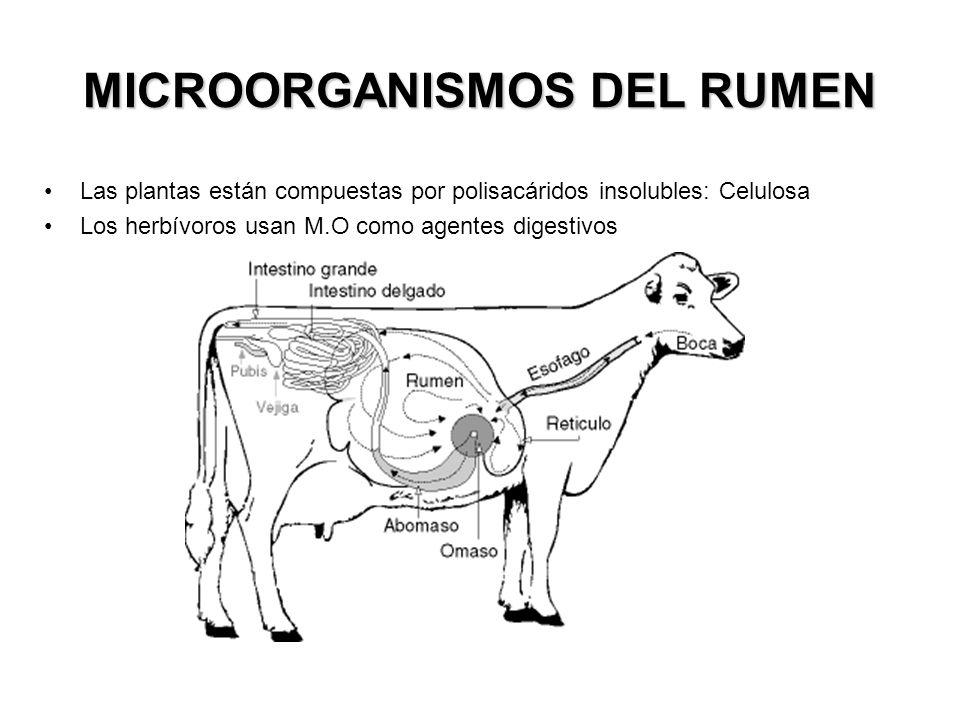 MICROORGANISMOS DEL RUMEN