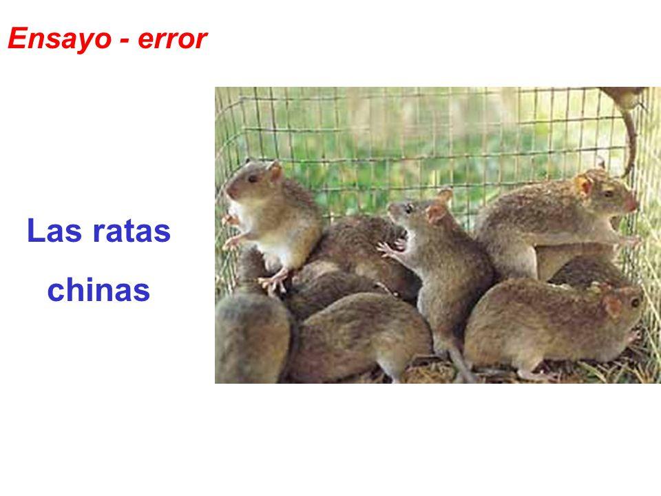 Ensayo - error Las ratas chinas
