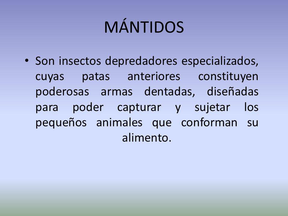 MÁNTIDOS