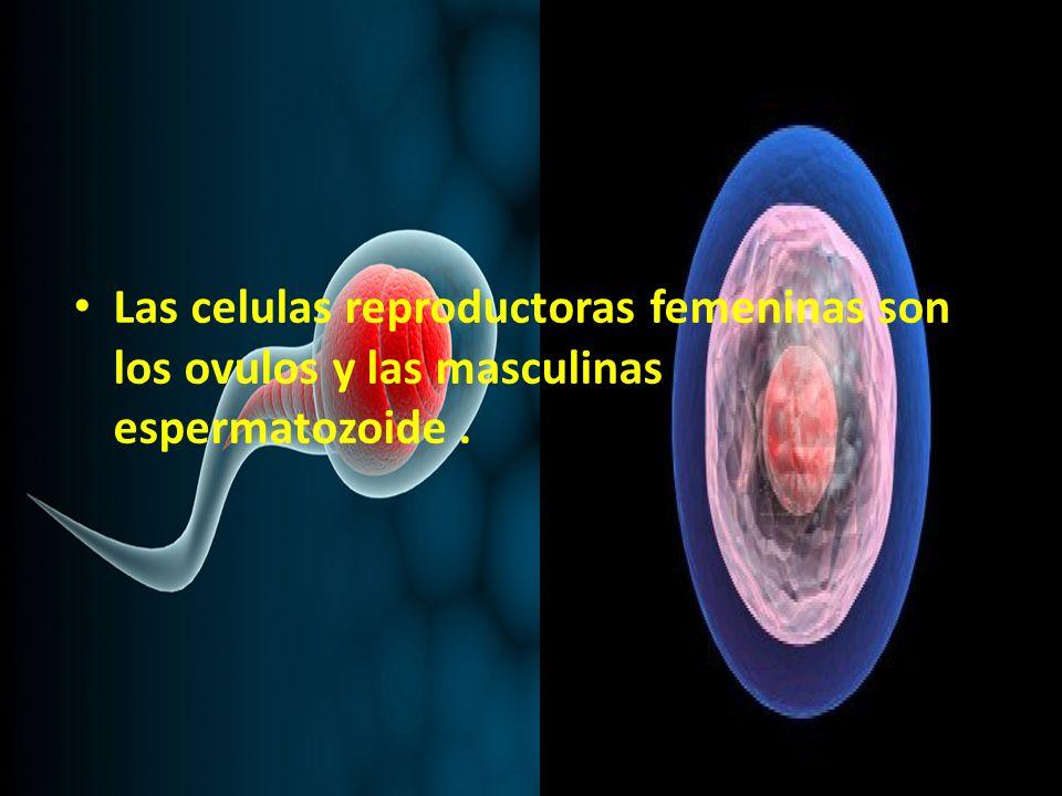 Las celulas reproductoras femeninas son los ovulos y las masculinas espermatozoide .
