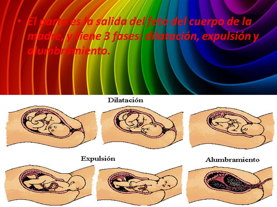 El parto es la salida del feto del cuerpo de la madre, y tiene 3 fases: dilatación, expulsión y alumbramiento.