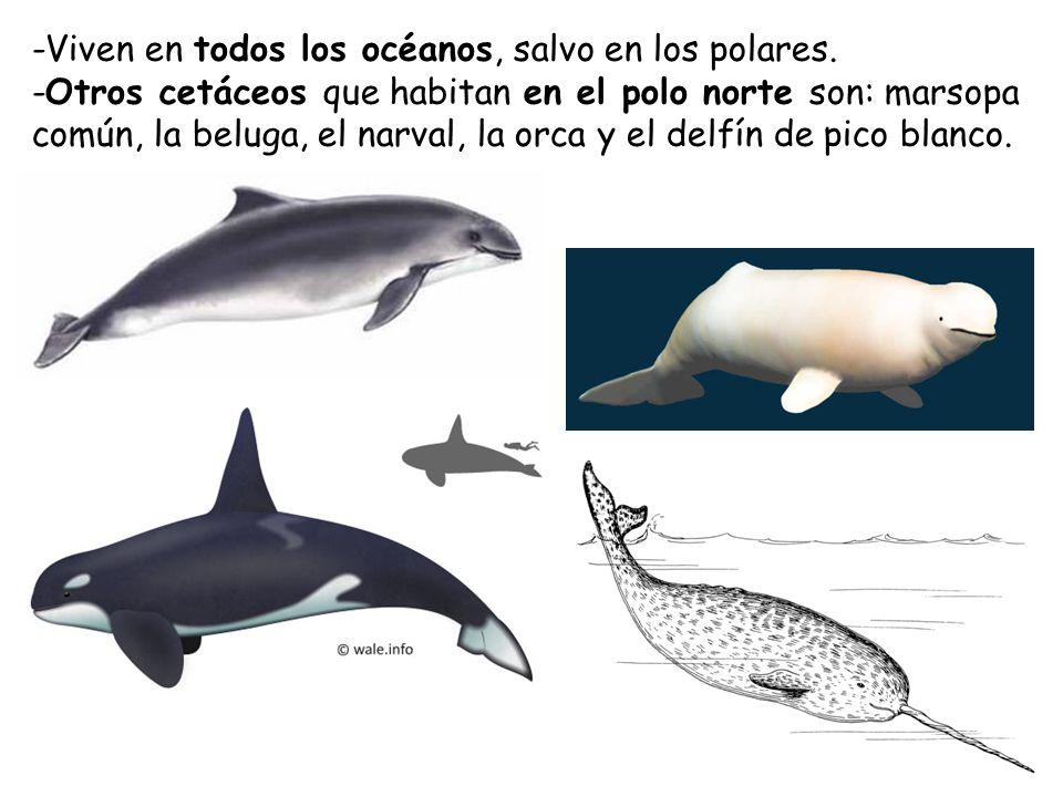 -Viven en todos los océanos, salvo en los polares.