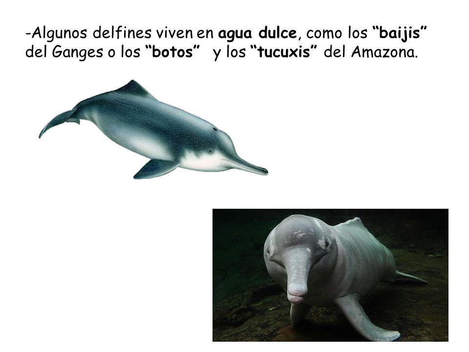 -Algunos delfines viven en agua dulce, como los baijis del Ganges o los botos y los tucuxis del Amazona.
