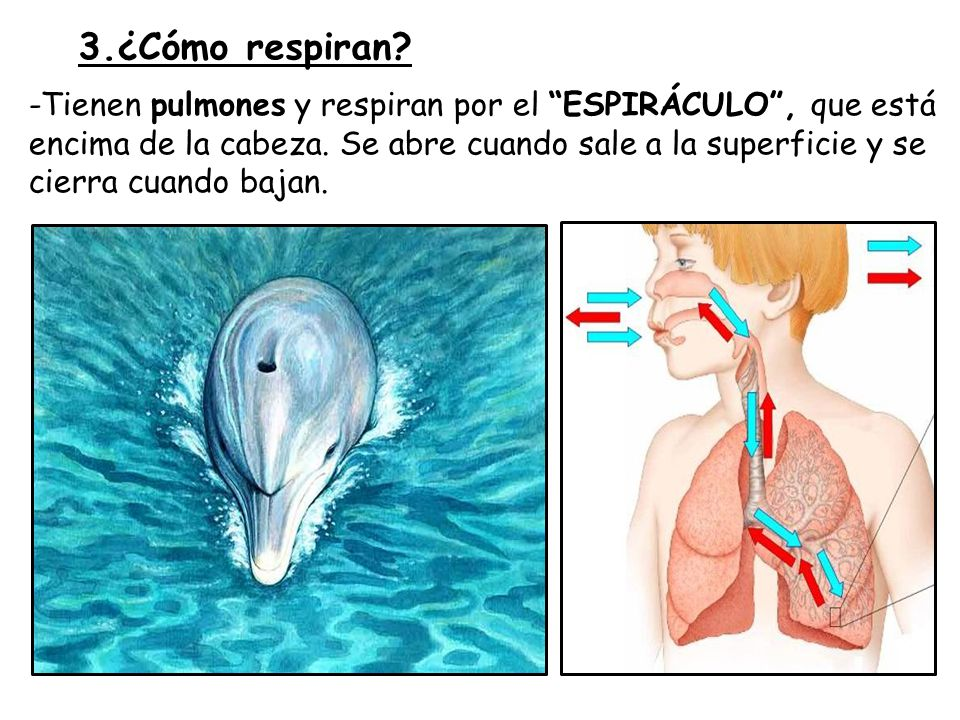 3.¿Cómo respiran
