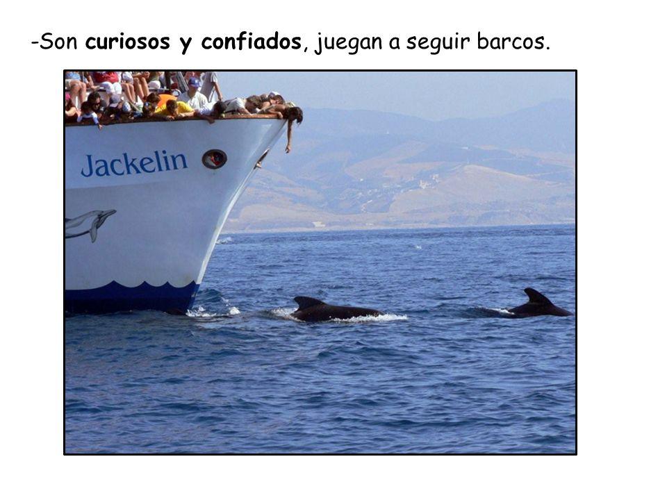 -Son curiosos y confiados, juegan a seguir barcos.