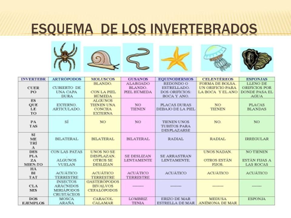 esquema de los invertebrados