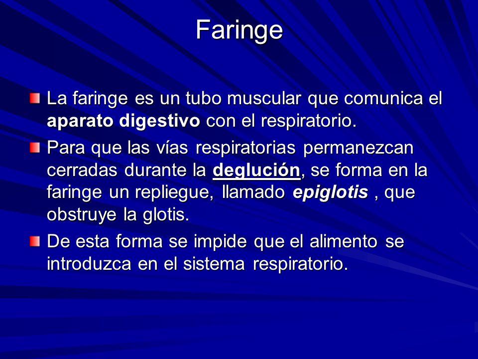 Faringe La faringe es un tubo muscular que comunica el aparato digestivo con el respiratorio.