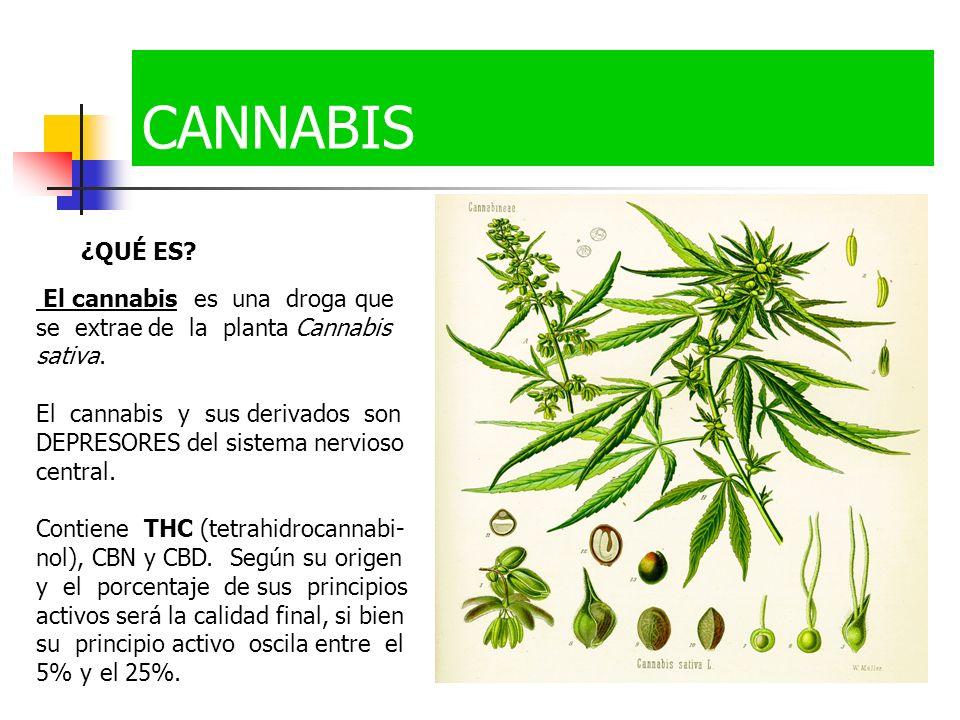 CANNABIS ¿QUÉ ES El cannabis es una droga que se extrae de la planta Cannabis sativa.